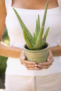 Aloe Barbadensis Miller ou Aloe Vera