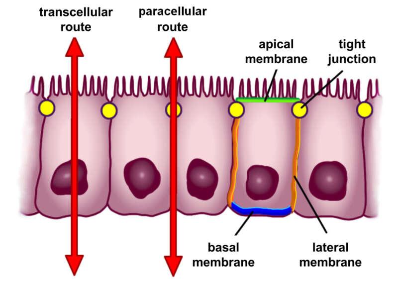 la perméabilité intestinale.