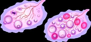 Ovulation - ovaires
